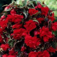 Бегония Pendula Cascade Red